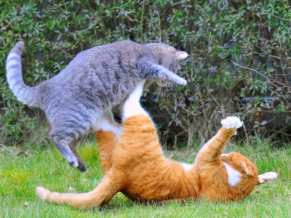 Two cats fighting shown as a joke to end our stress free flatpack furniture guide